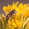 Wide-striped Sweat Bee