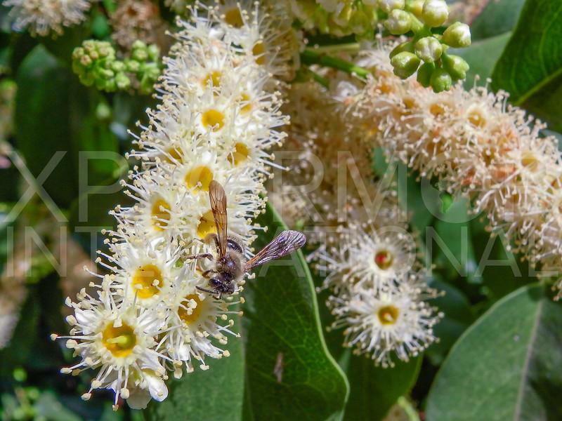 Mining Bee on Island Cherry Tree