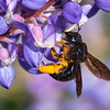 Large Carpenter Bee - Need ID