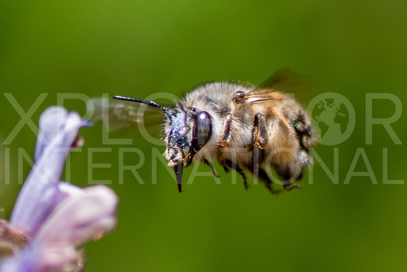 California Mountain-Digger Bee
