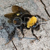 Crotch's Bumble Bee (Endangered)