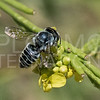 Leafcutter Bee - Need ID