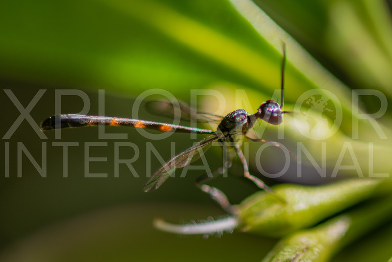 Carrot Wasp - Need ID