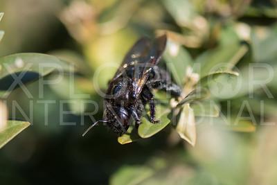 Valley Carpenter Bee 2
