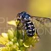 Resin-gathering Bee