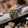 Mason Bee - Need ID