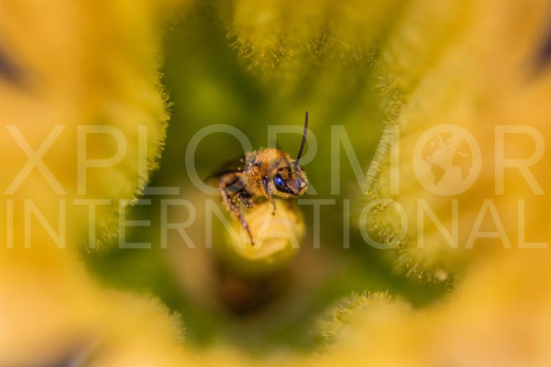 Pruinose Squash Bee