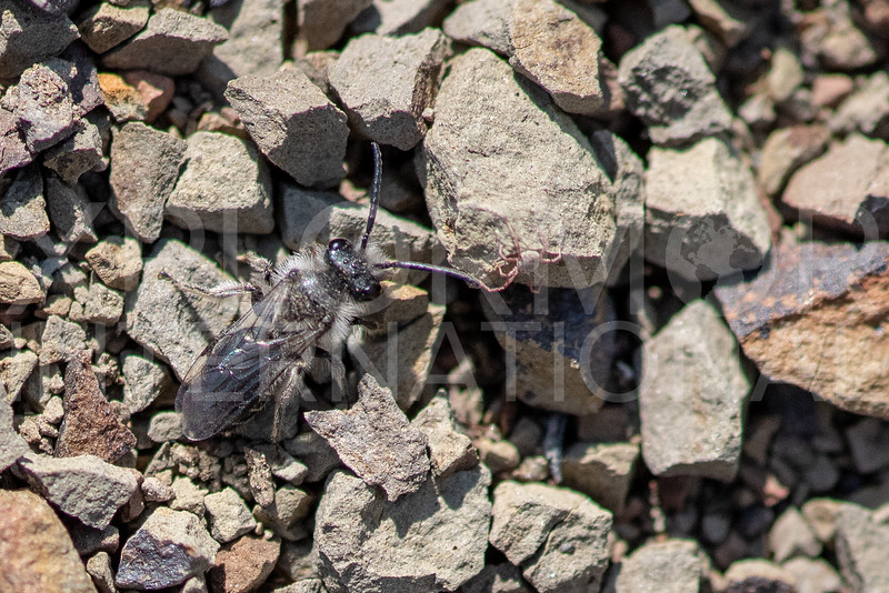 Mining Bee with Mite - Need ID