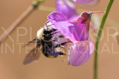 Van Dyke's Bumble Bee on Common Pacific Pea