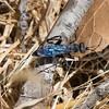 Vespoid Wasp