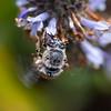 Urbane Digger Bee