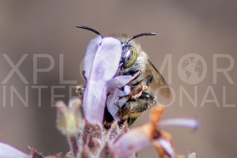 California Digger Bee