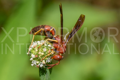 Red Paper Wasp 2