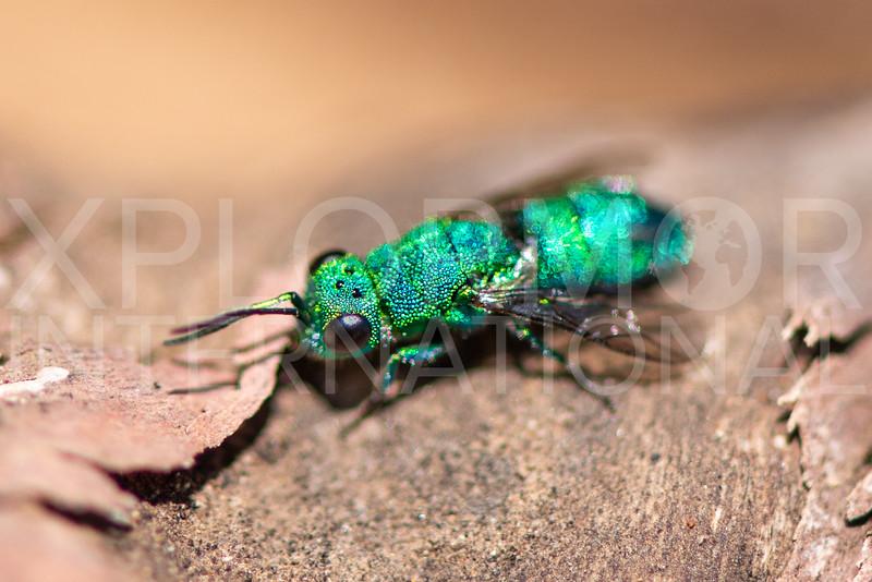 Cuckoo Wasp - Need ID