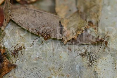 Ants, Unidentified II