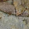 Atta Leaf-cutter Ants