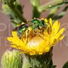 Striped Sweet Bee