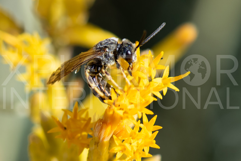 Furrow Bee - Need ID