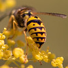 Western Yellowjacket