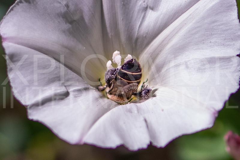 Bindweed Turret Bee