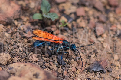 Tarantula Hawk Wasp 3