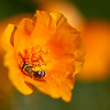 Tansy Mustard Sweat Bee