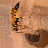 Yellow-legged Mud-dauber Wasp