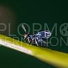 Chalcidoid Wasp