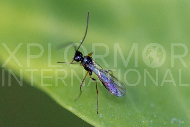 Ichneumonid Wasp - NEED ID