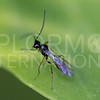 Ichneumonid Wasp - NEED ID