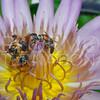 Eastern Honey Bees