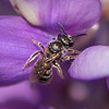Tripartite Sweat Bee