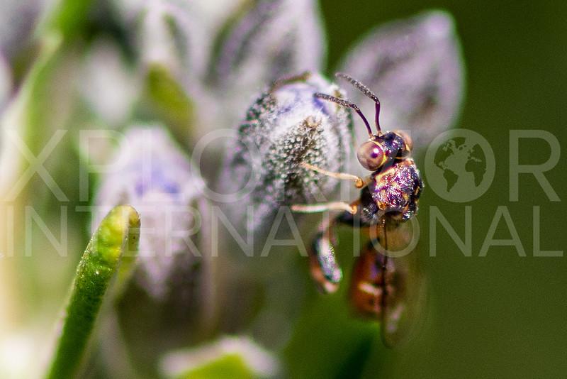 Chalcidid Wasp - Need ID
