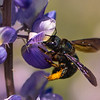 California Carpenter Bee