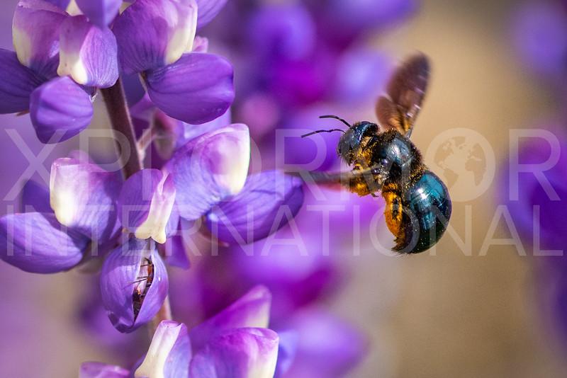 California Carpenter Bee