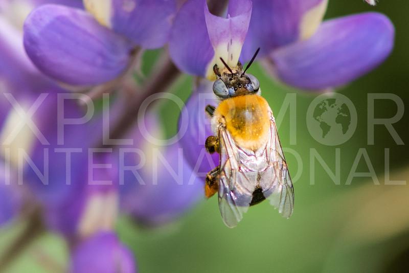 Centridine Bee - Need ID
