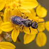 Metallic Sweat Bee - Need ID