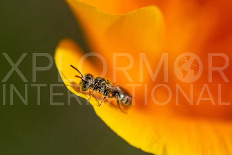 Fairy Bee - Need ID