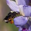 Van Dyke's Bumble Bee