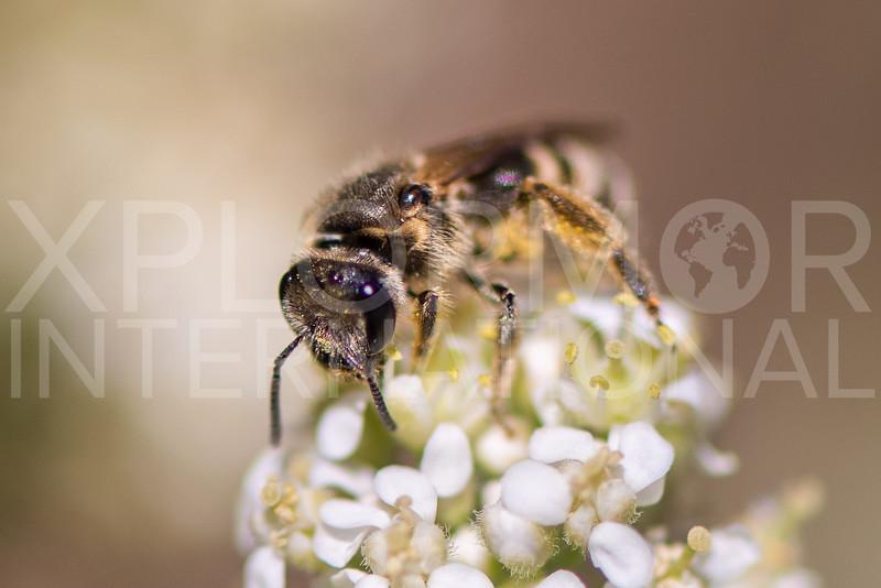 Sweat Bee - Need ID
