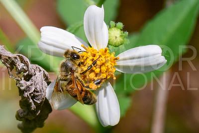Honey Bee in Cuba