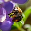 Centridine Bee