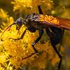 Milde's Tarantula Hawk Wasp