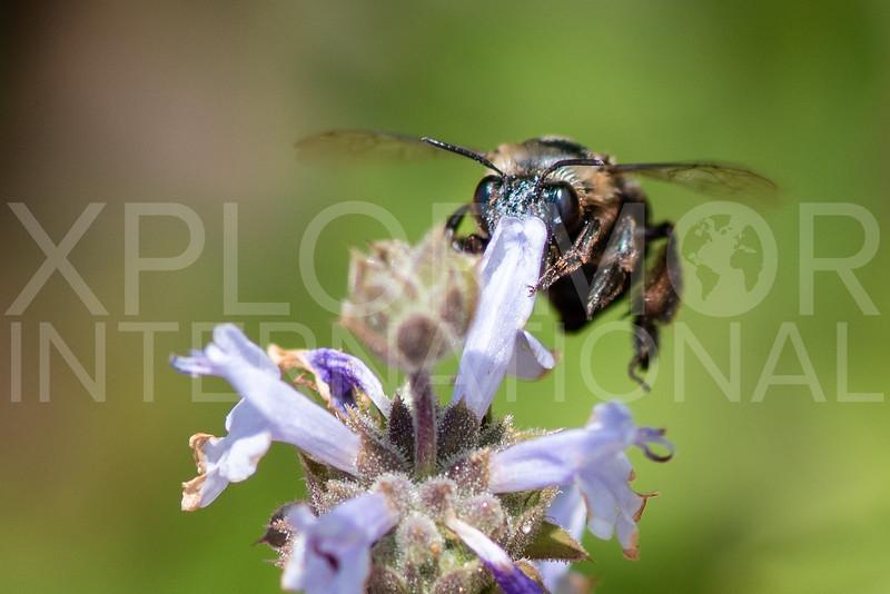 Dimorphic Mountain-digger Bee