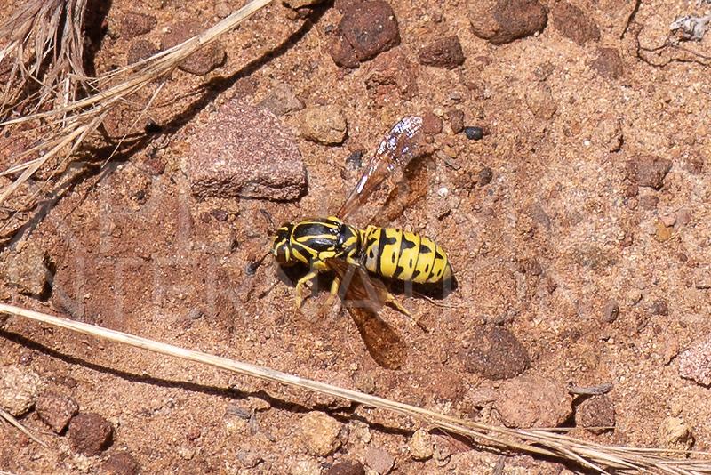 Pollen Wasp - Need ID
