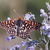 Chalcedon Checkerspot