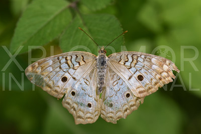 White Peacock Butterfly 2