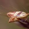 Tortricine Leafroller Moth