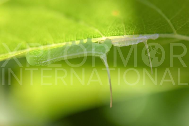 Sphinx Moth (Caterpillar)