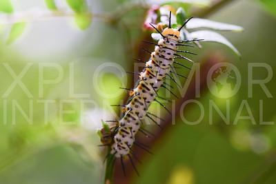 Zebra Longwing Butterfly Caterpillar in Cuba 2